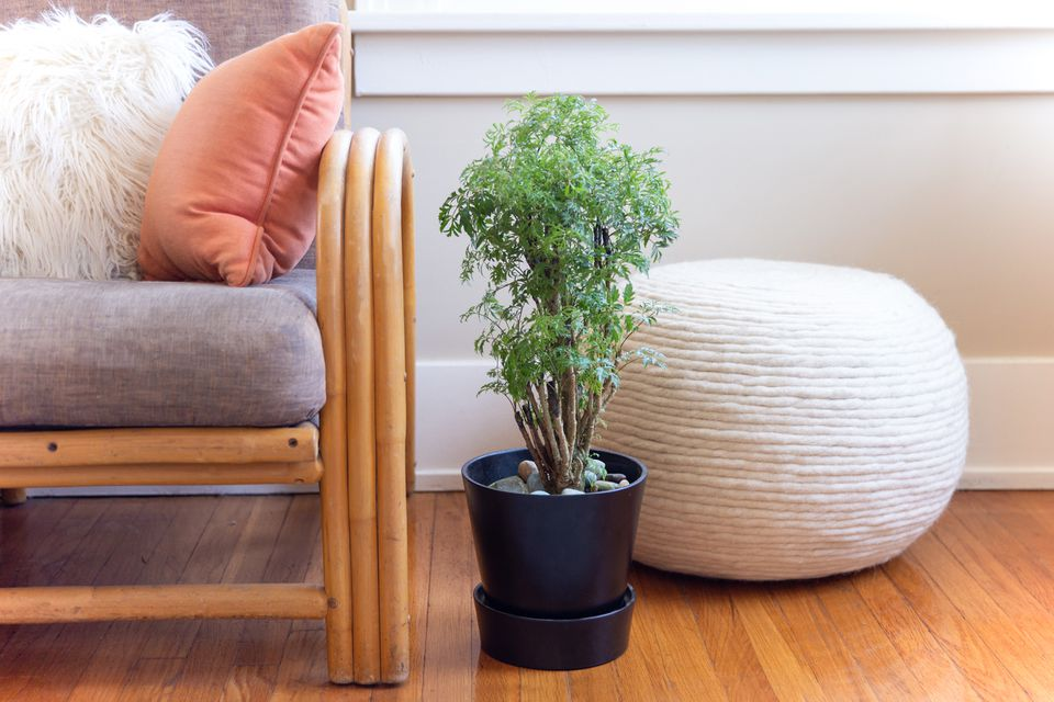 potted ming aralia plant in a living room