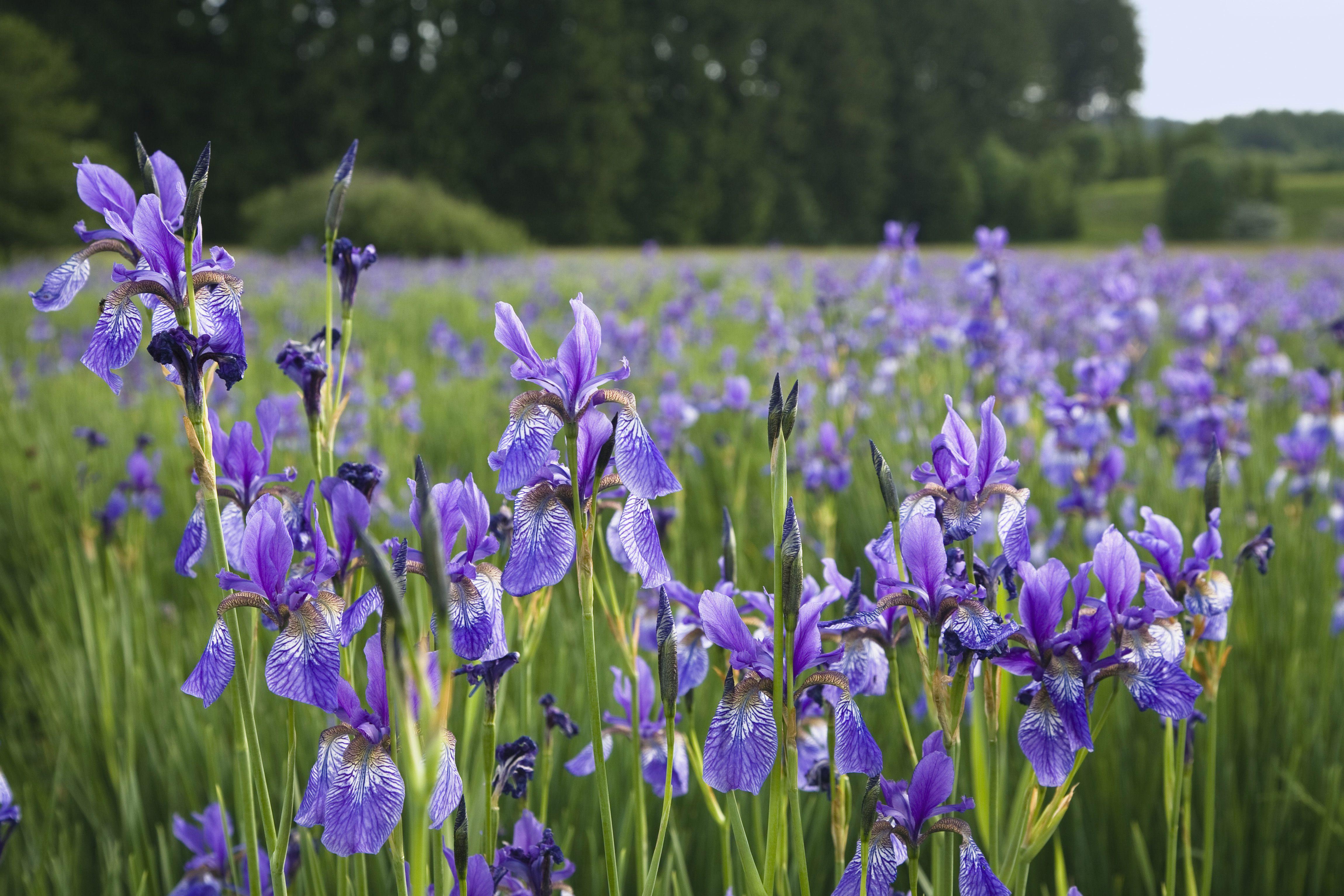 A field of Siberian iris