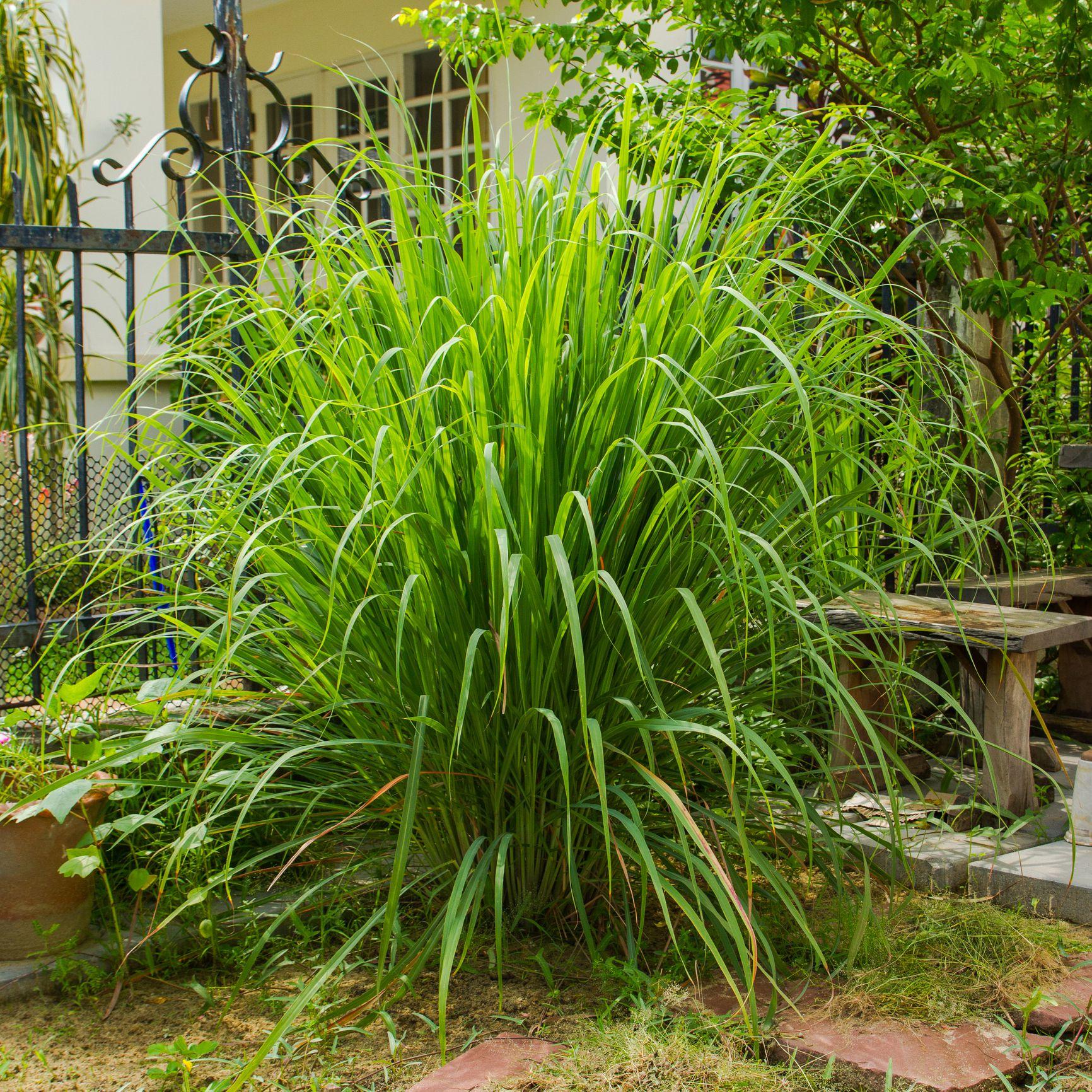 Lemongrass Growing in Garden