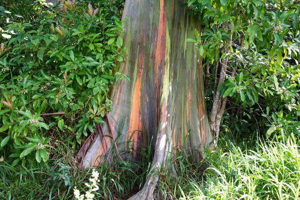 Rainbow eucalyptus tree trunk with streaks of green, orange, and purple bark