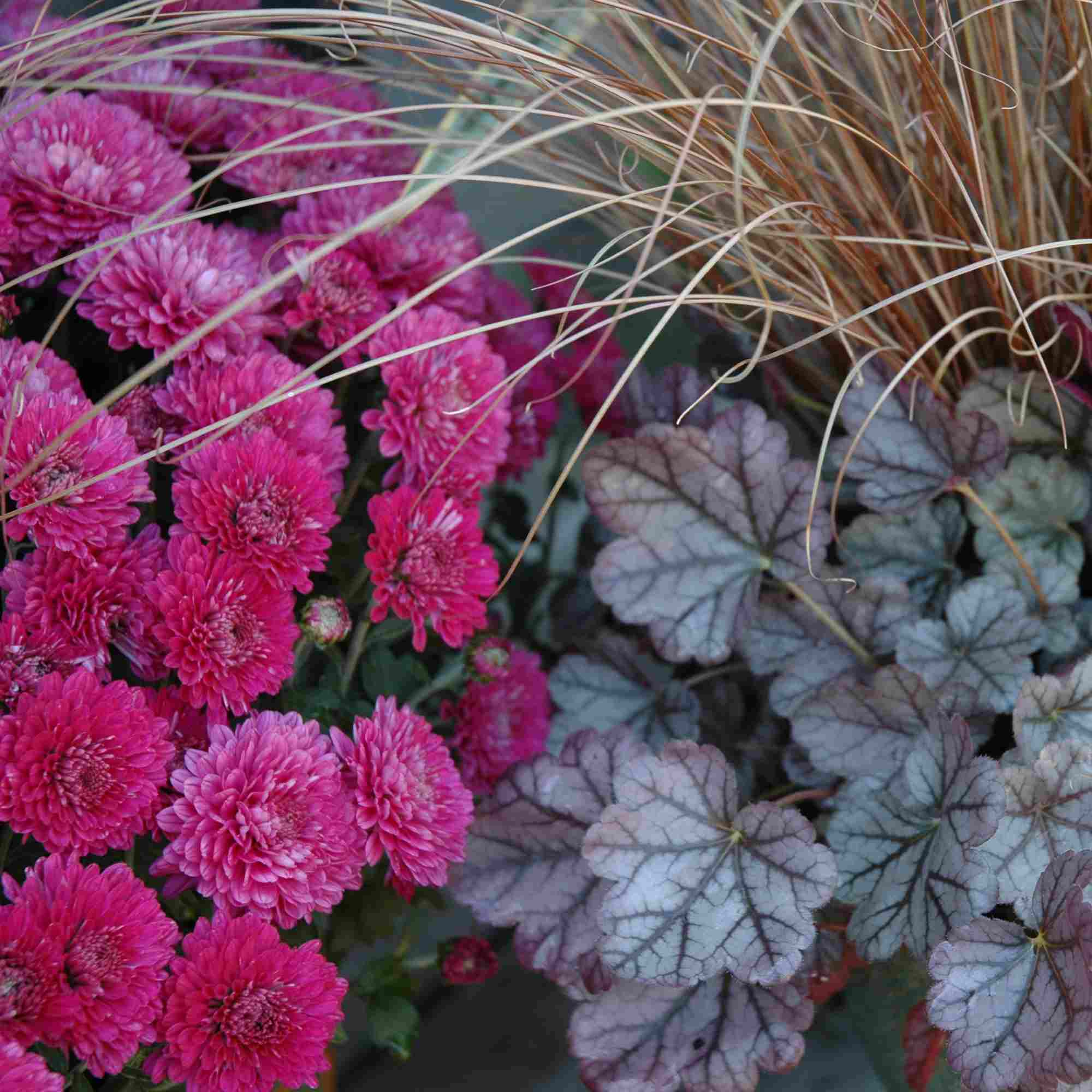 Coral bells, toffee twist sedge, and pink mum in a fall container garden