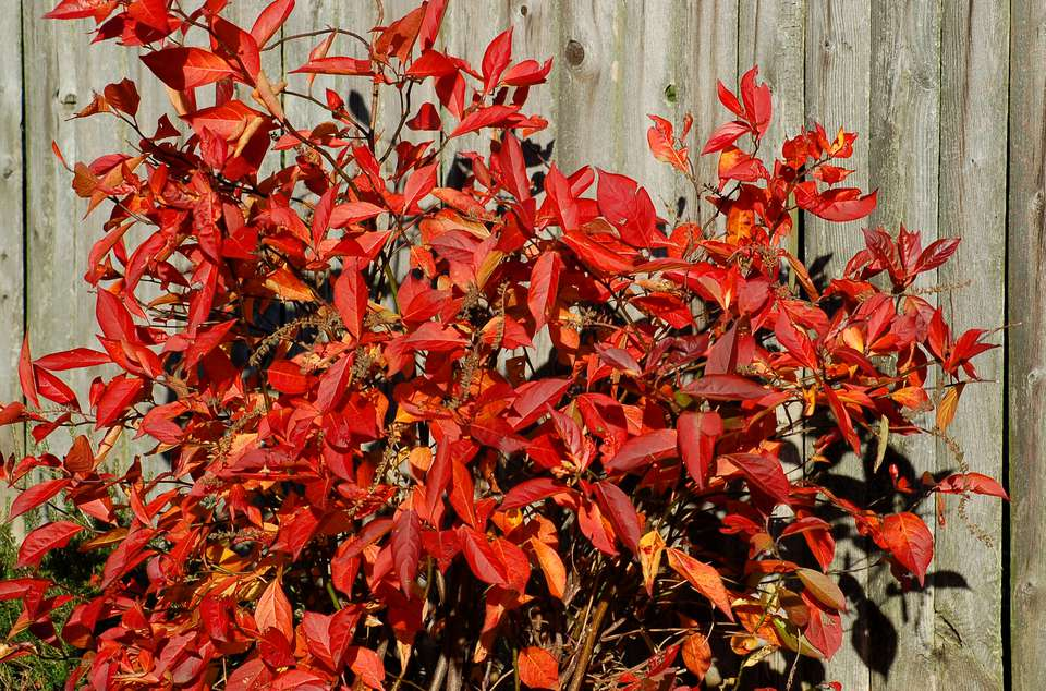 Virginia sweetspire (image) with its stunning red and orange leaves.