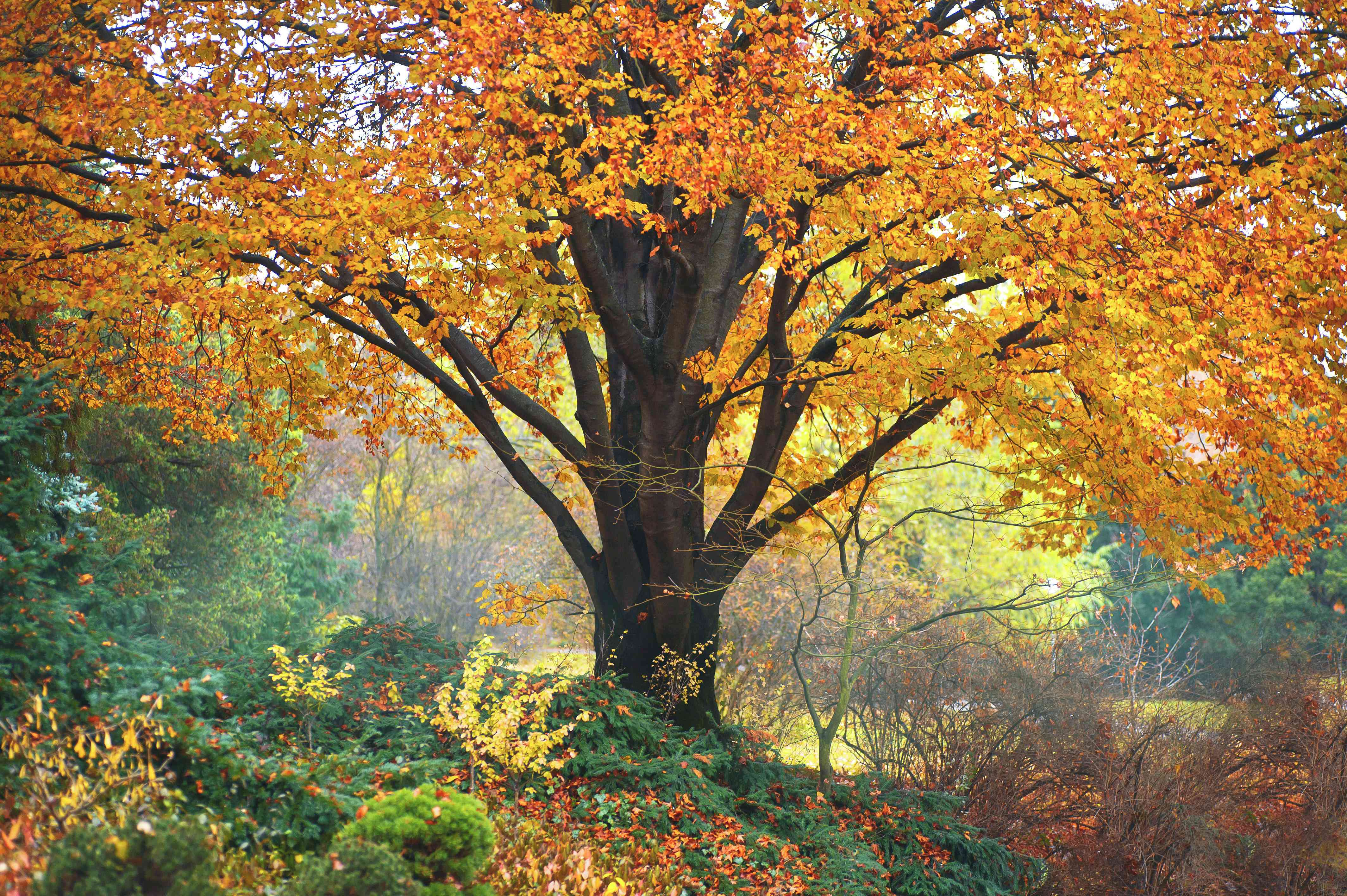 European beech tree with bright orange leaves in middle of colorful woods