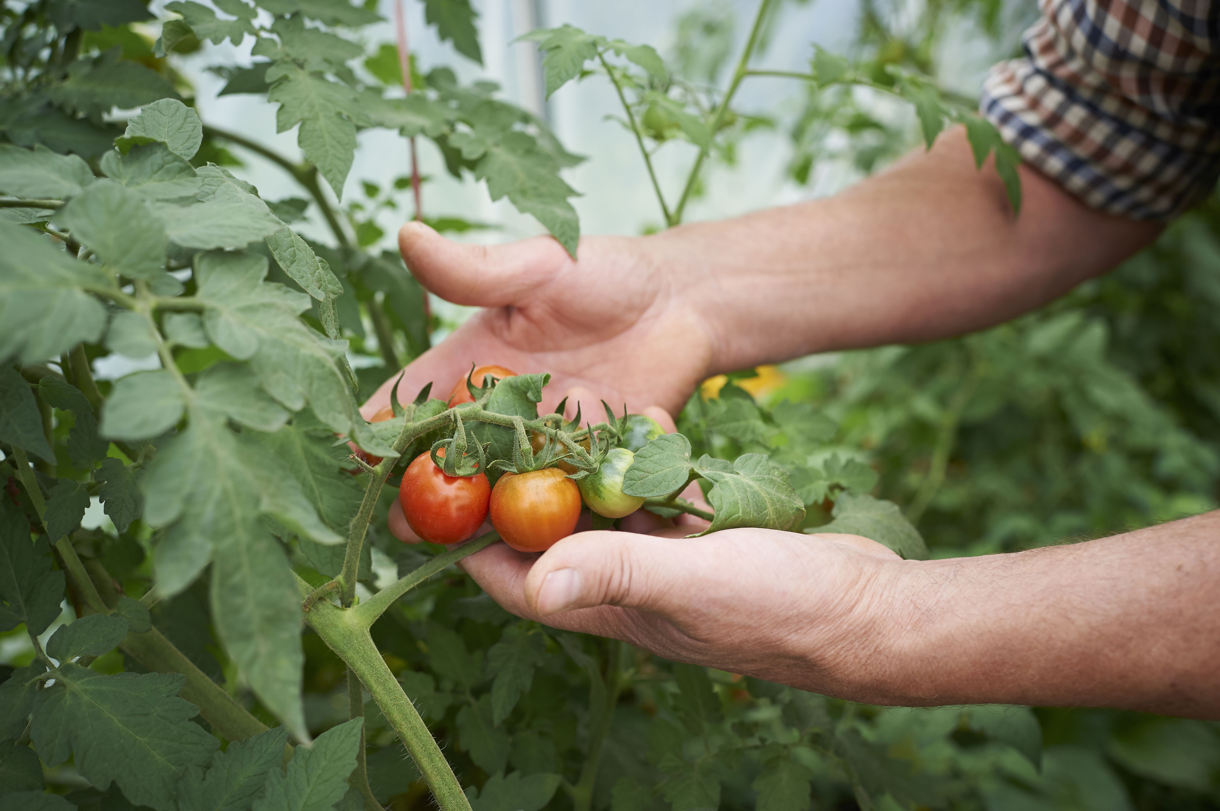 Hands holding fresh tomatoes on the vine.