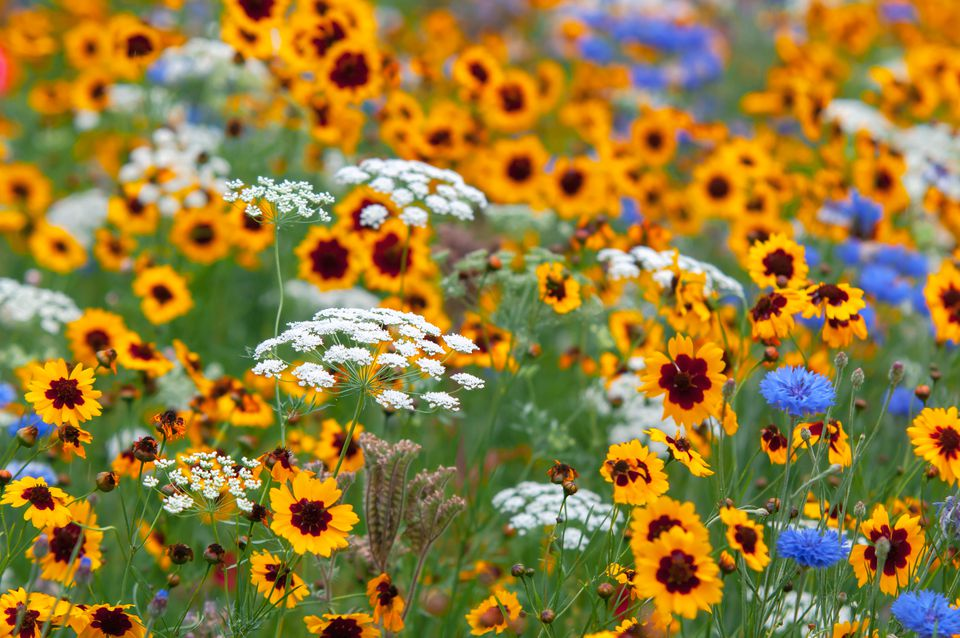 Yellow coreopsis and queen's anne lace wildflowers in garden