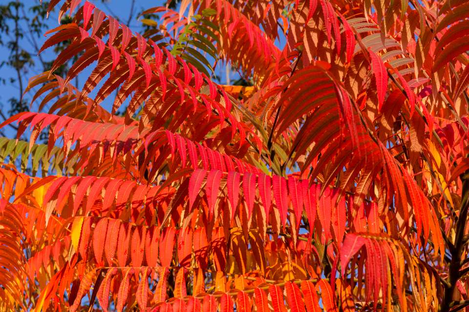 Staghorn sumac, Ornamental plant sumac deer horn - vinegar tree. decorative sumac tree.