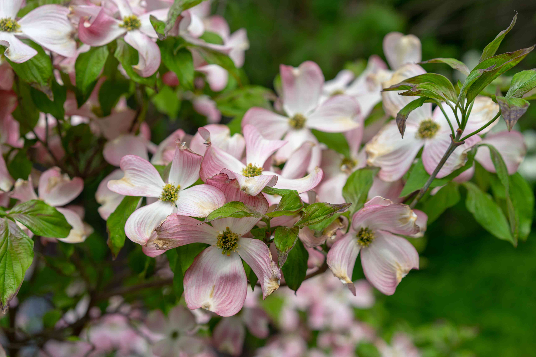 A close-up view of pink dogwood flowers, Cornus florida rubra