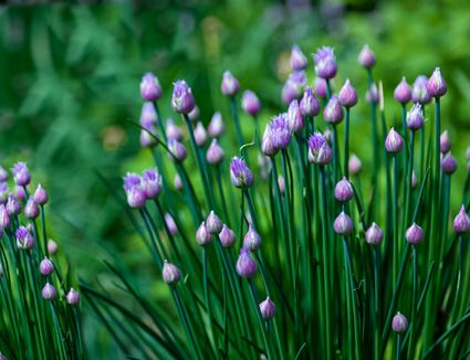 chives growing