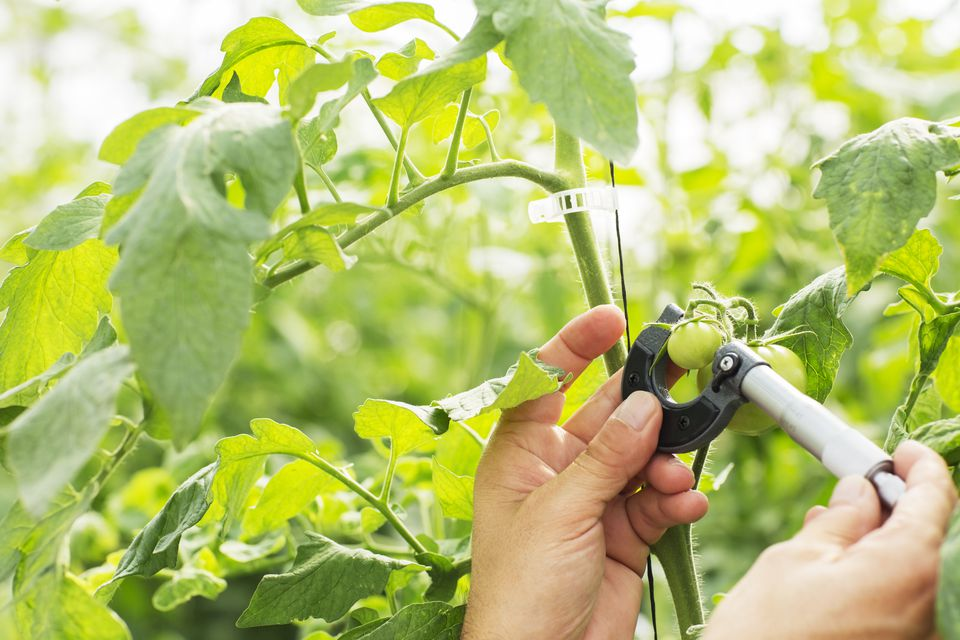 Botanist measuring small tomato with caliper in greenhouse