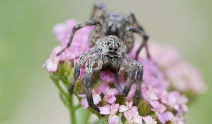 Wolf Spider showing 8 eyes, chelicerae and palps