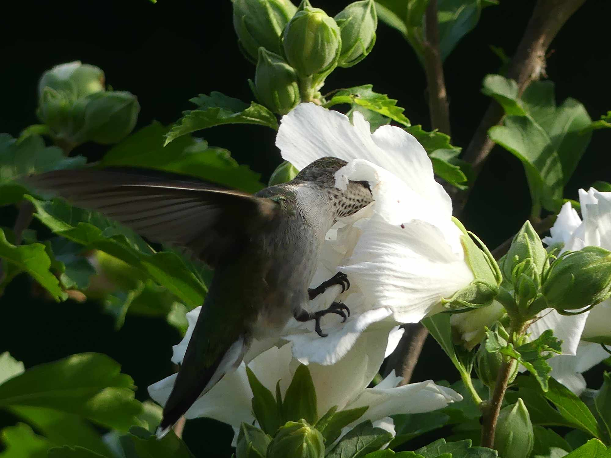 'White Chiffon' rose of Sharon being visited by a hummingbird