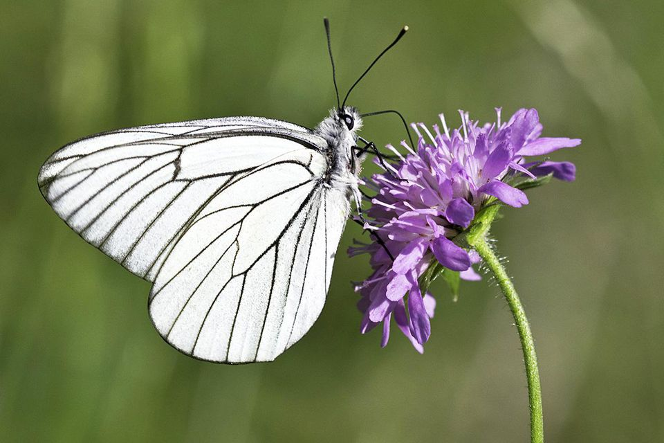 Black-veined white butterfly foraging on a Field Scabious (Knautia arvensis) flower.