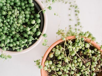 string of pearls plants