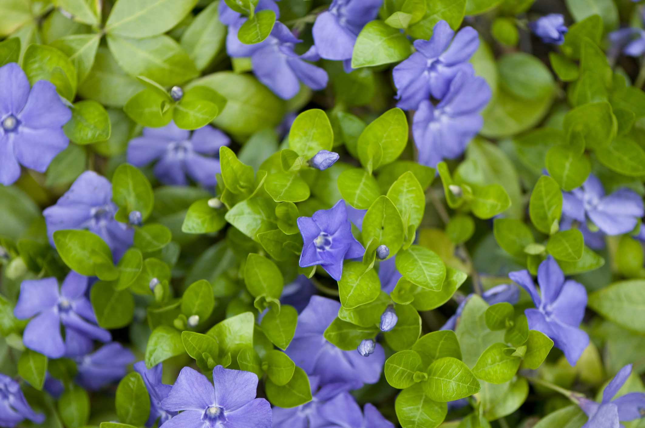 Vinca minor vines with blue flowers.