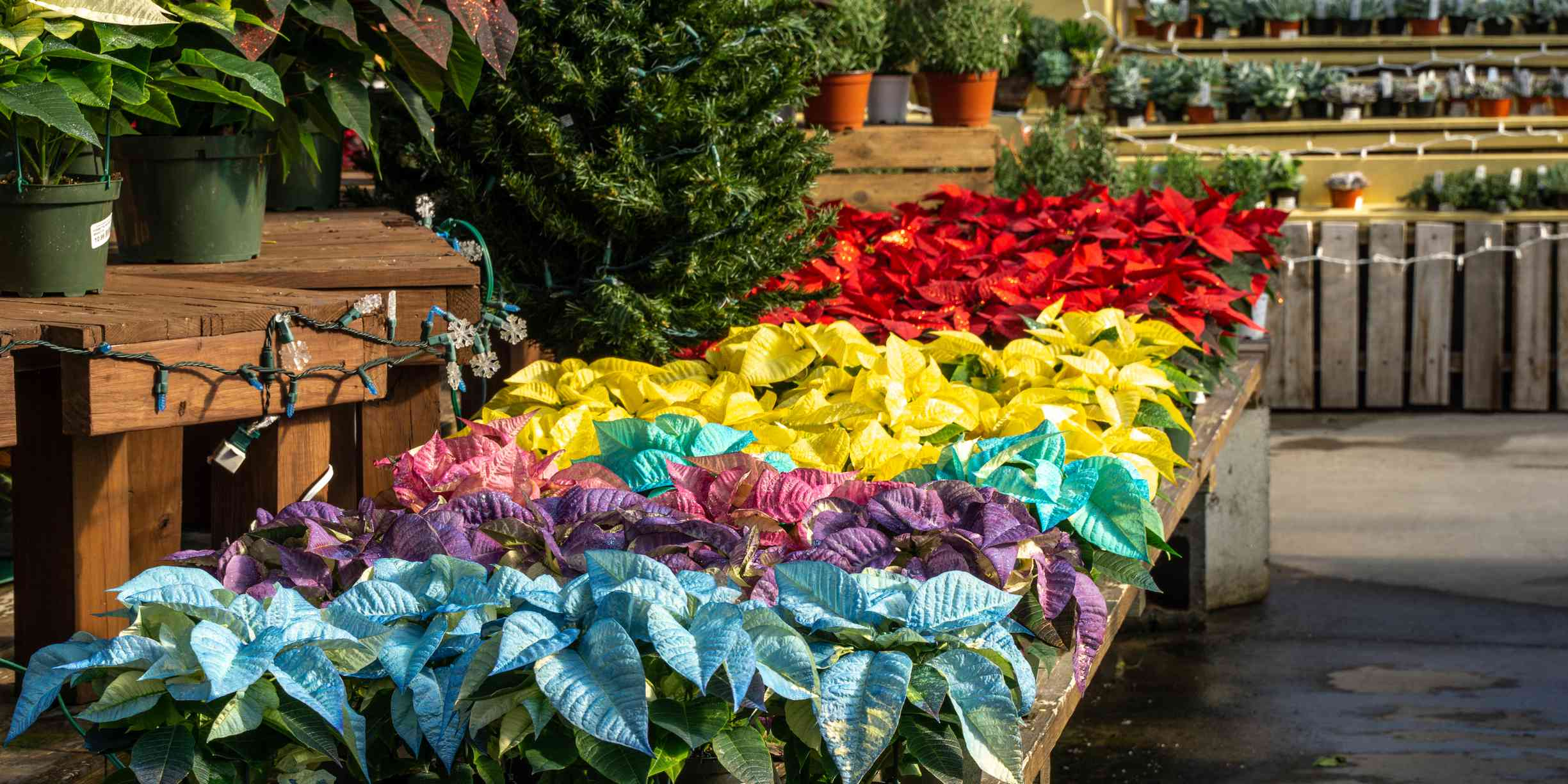 Colorful poinsettia plants at greenhouse