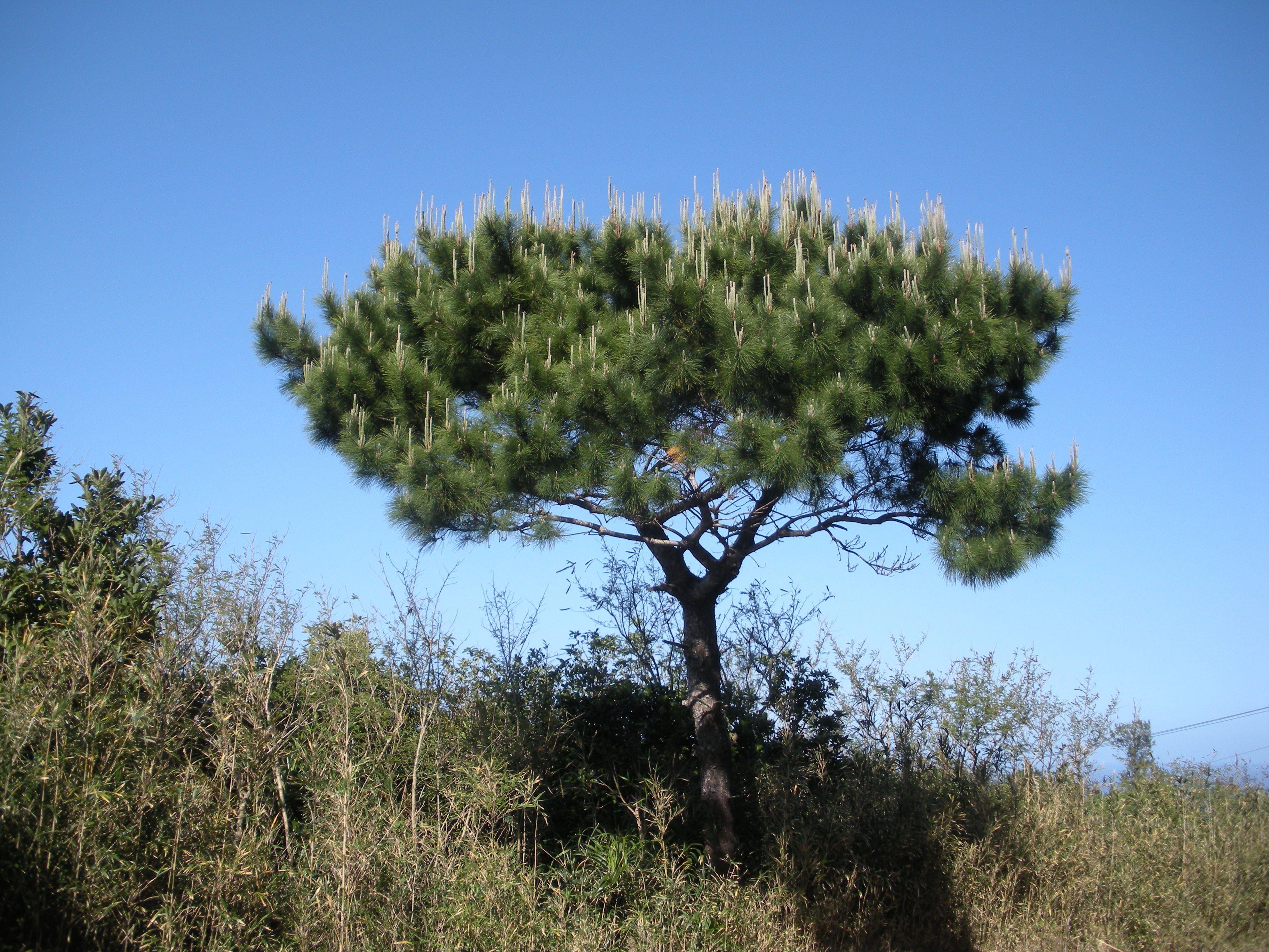 Pinus luchuensis (Okinawa Pine)