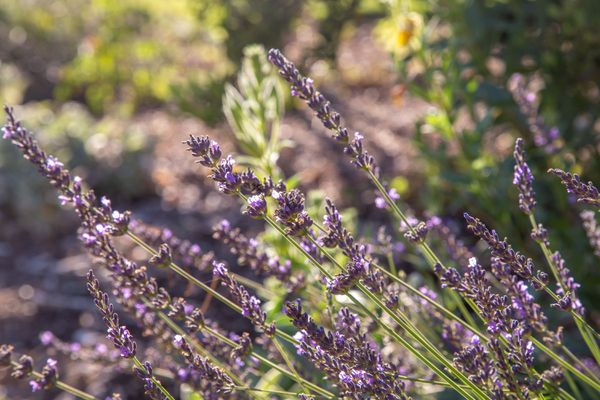 lavender is a long blooming perennial