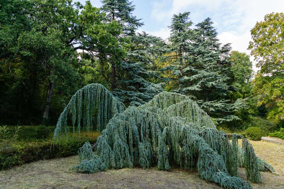 Landscape with majestic Weeping Blue Atlas cedar (Cedrus atlantica Glauca Pendula) in Massandra park, Crimea. Sunny autumn day.