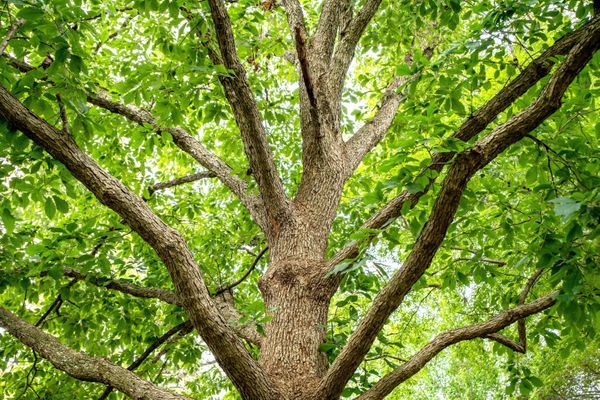 Chinkapin oak tree with ribbed bark and sprawling branches with bright green leaves
