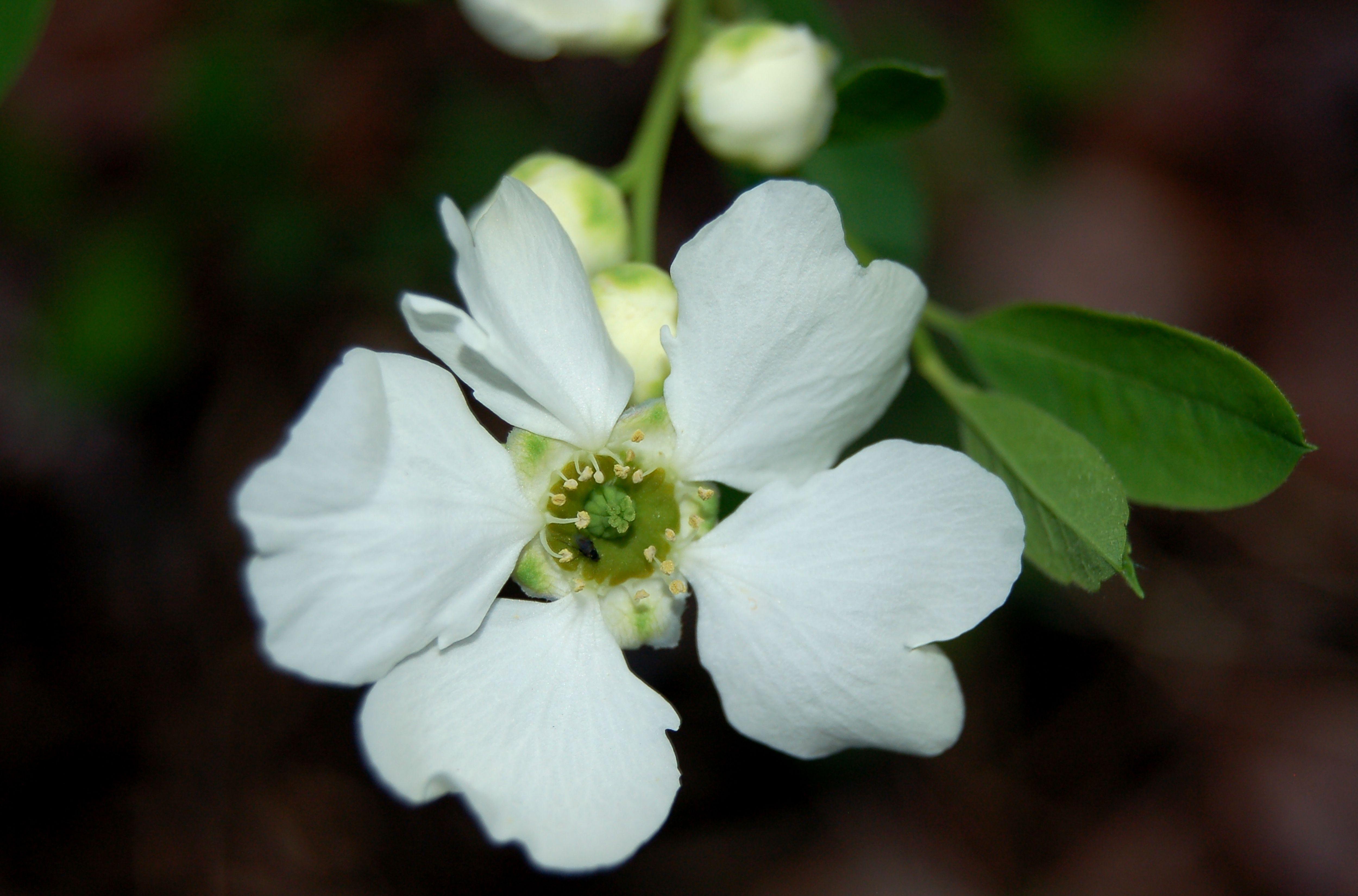 Late Spring Blooming Shrubs Best Flowering Bushes