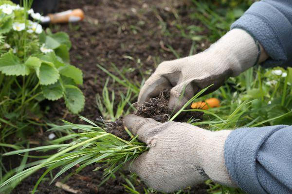 hand-weeding the garden