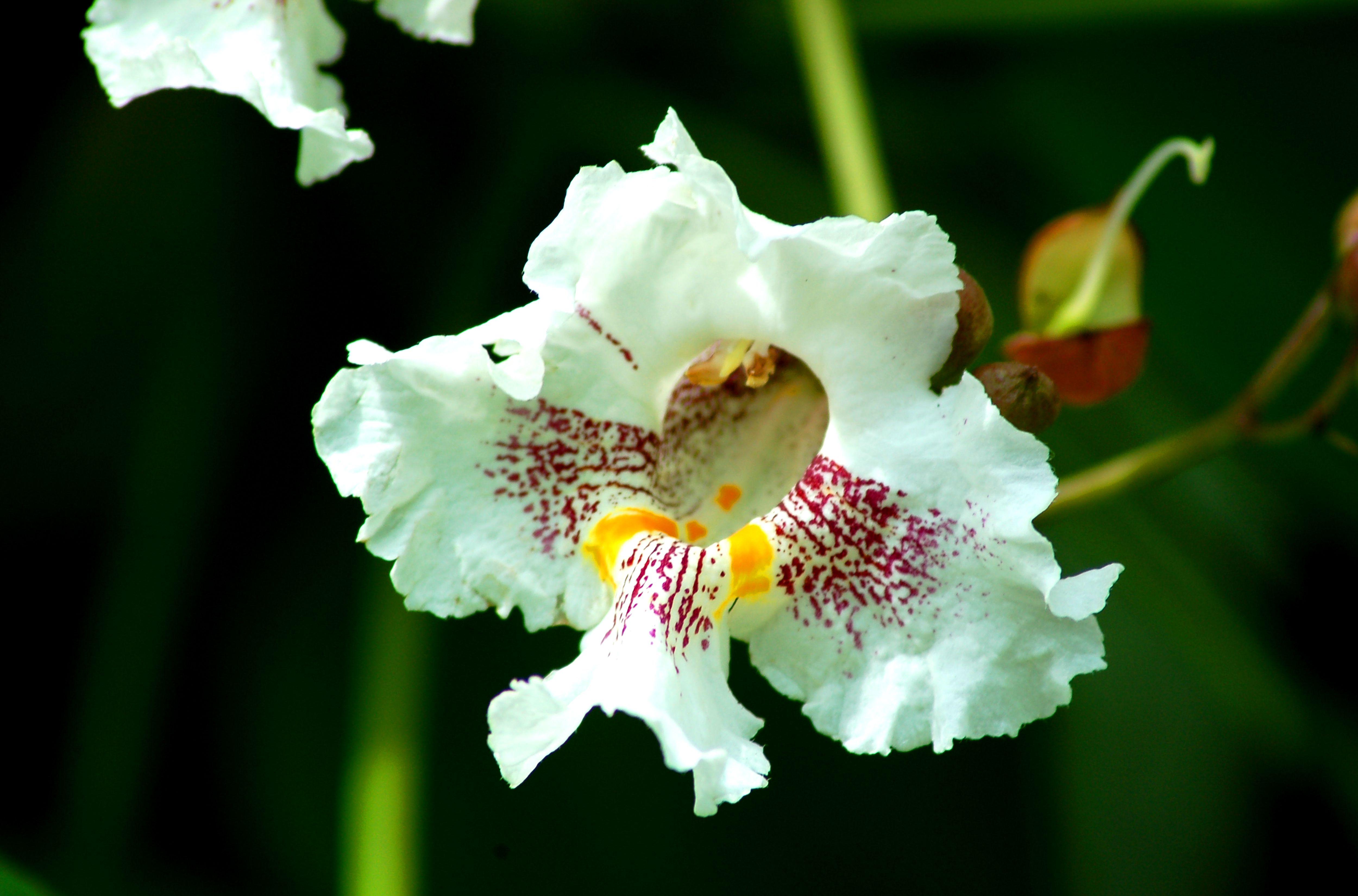 Floración del árbol de Catalpa