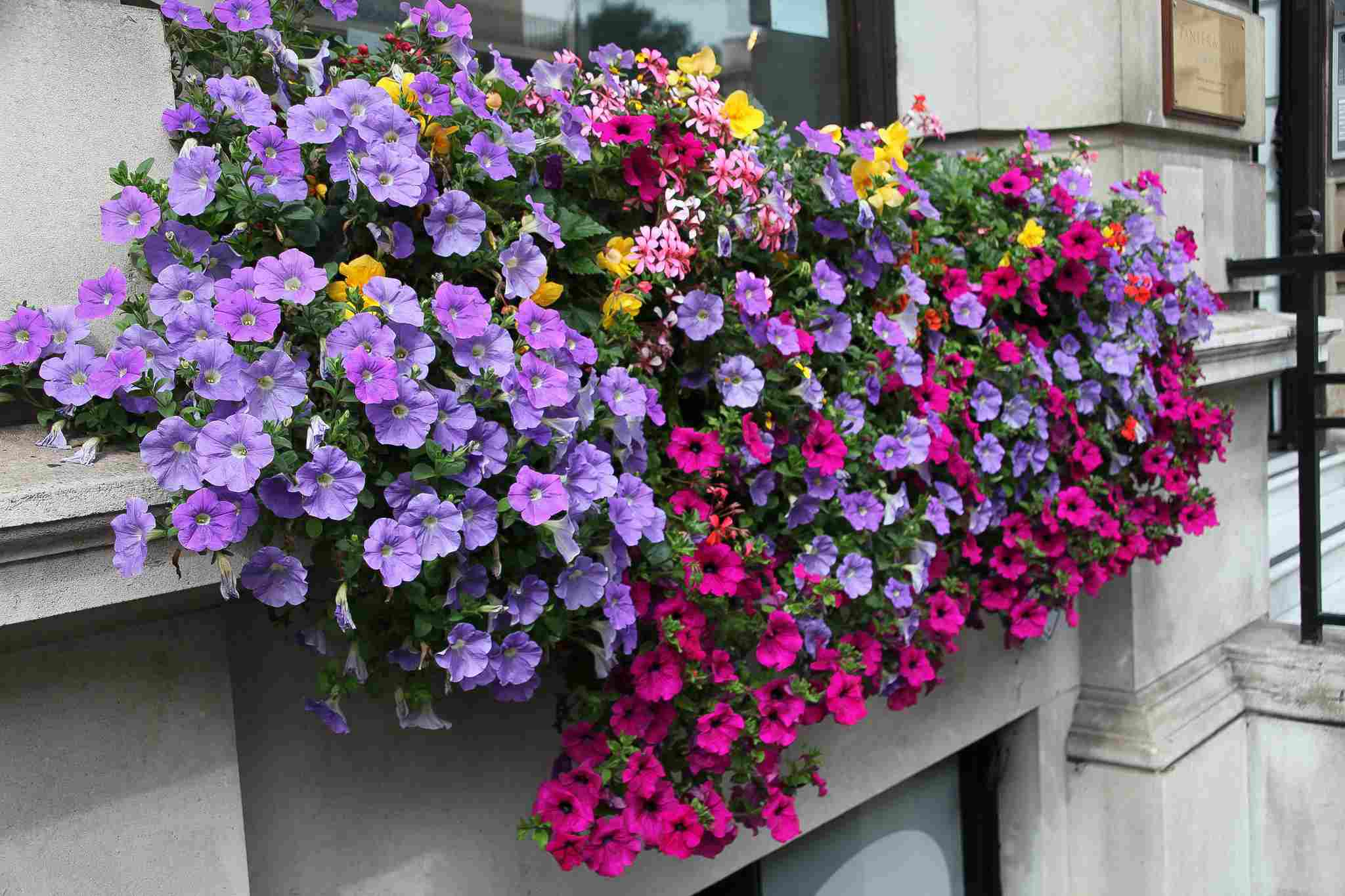 spring window box with purple, pink, and yellow flowers