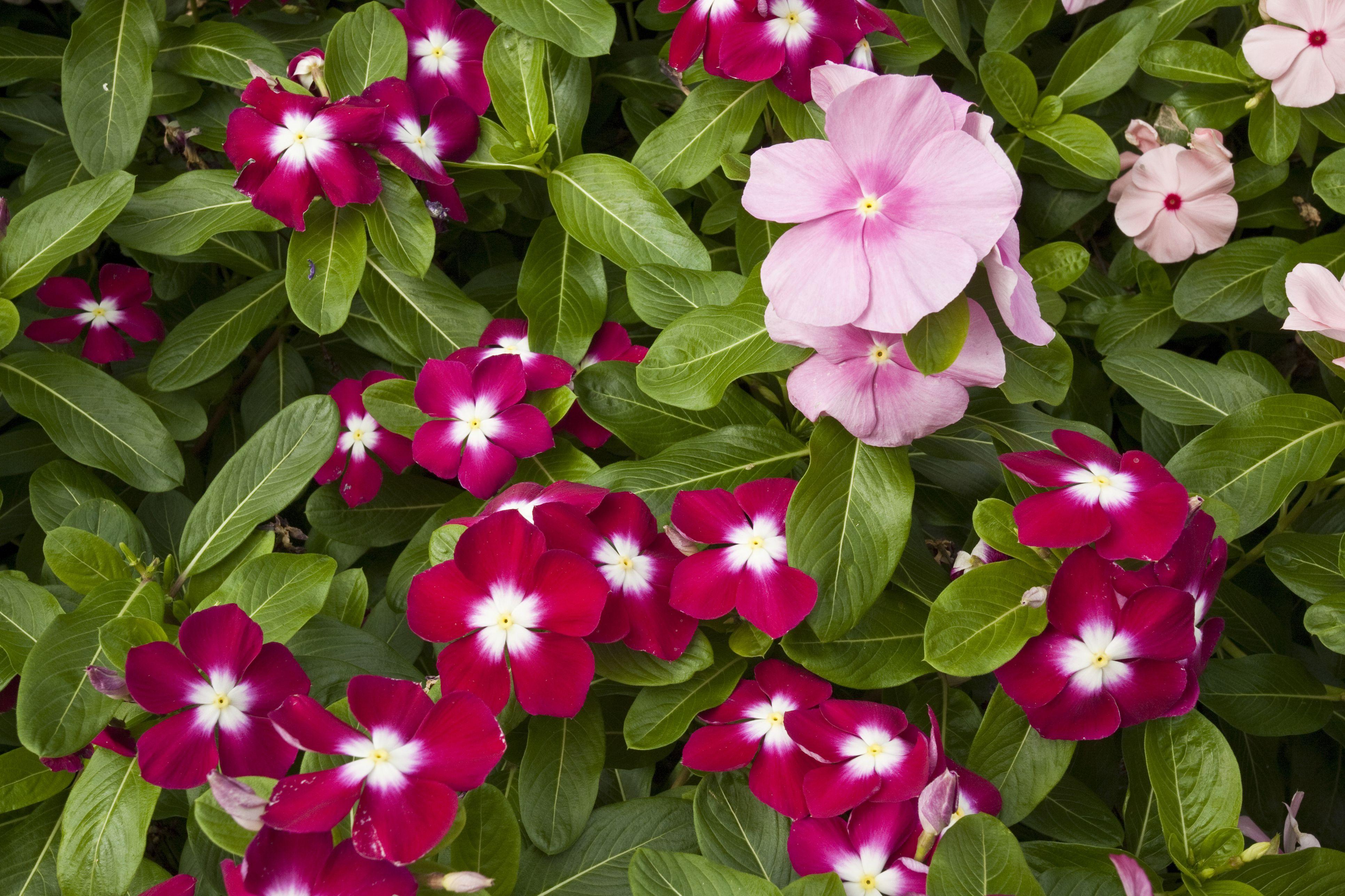 Dozens of pink impatiens blooming.