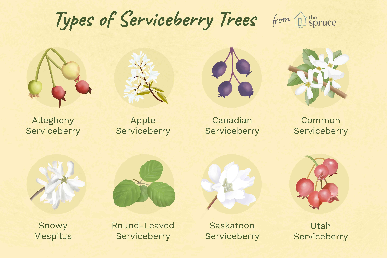 types of serviceberry trees