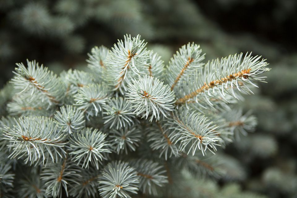 Concolor Fir Branch (White Fir)