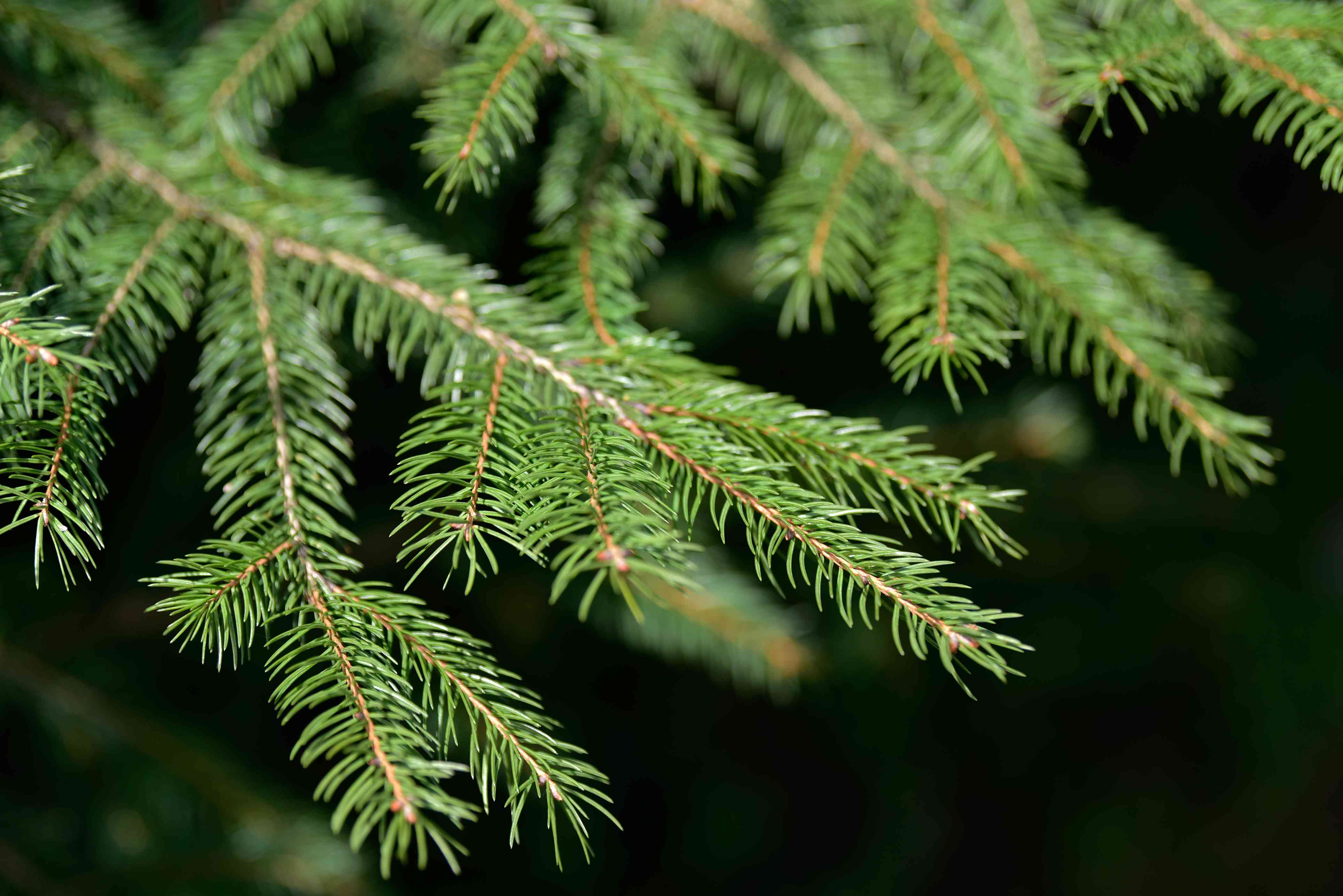 Norway spruce tree branch with short spikey needles closeup