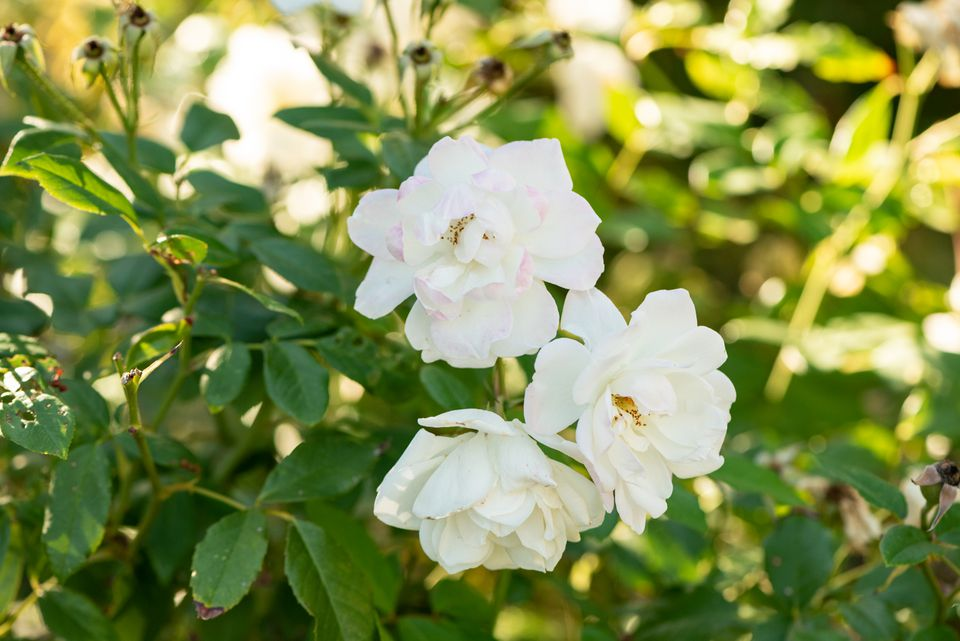 Cherokee rose bush with large white flowers on branches