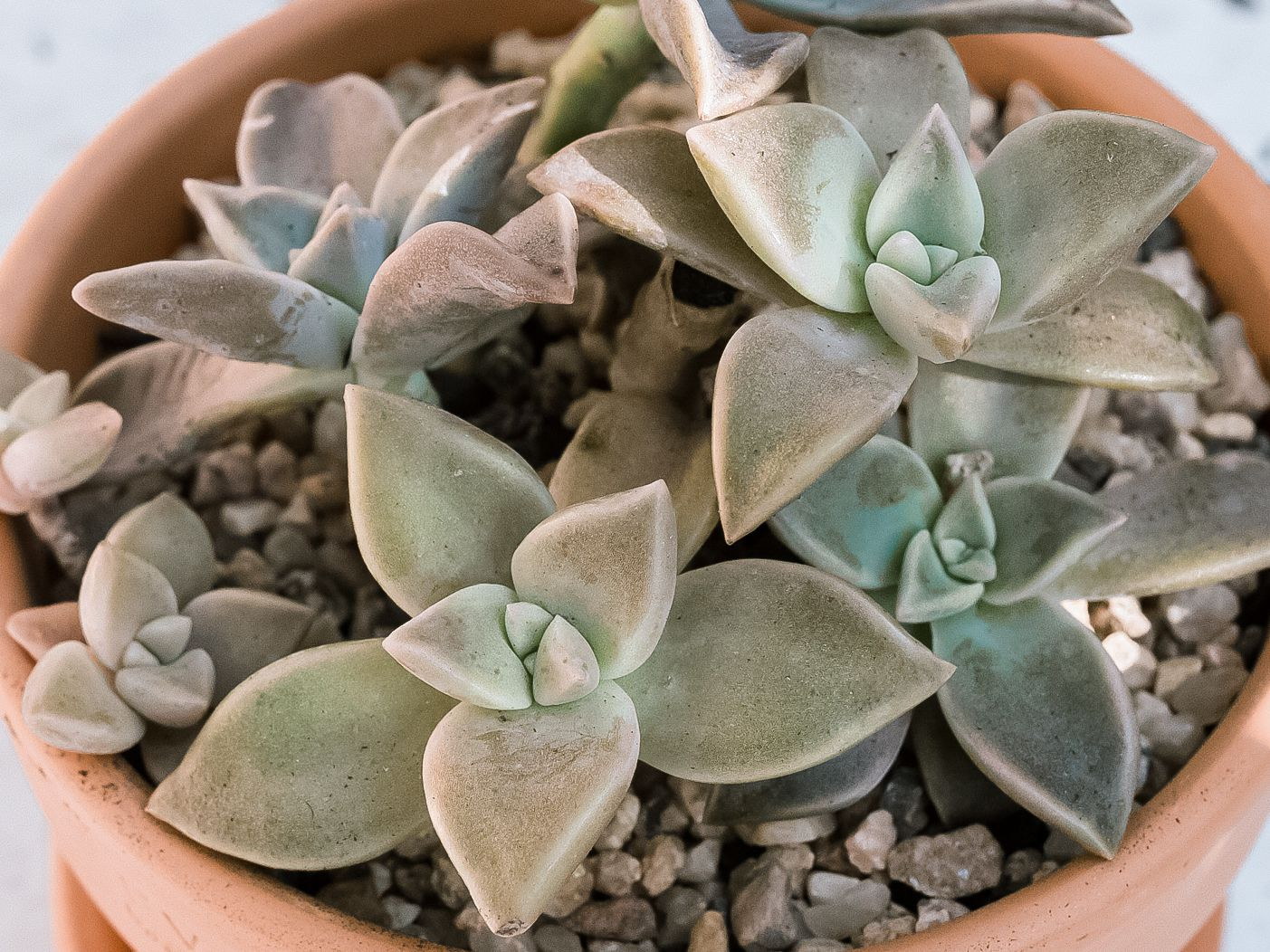 Ghost Plant Succulent Care And Growing Guide