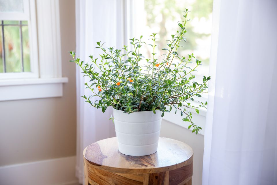 goldfish plant by a window