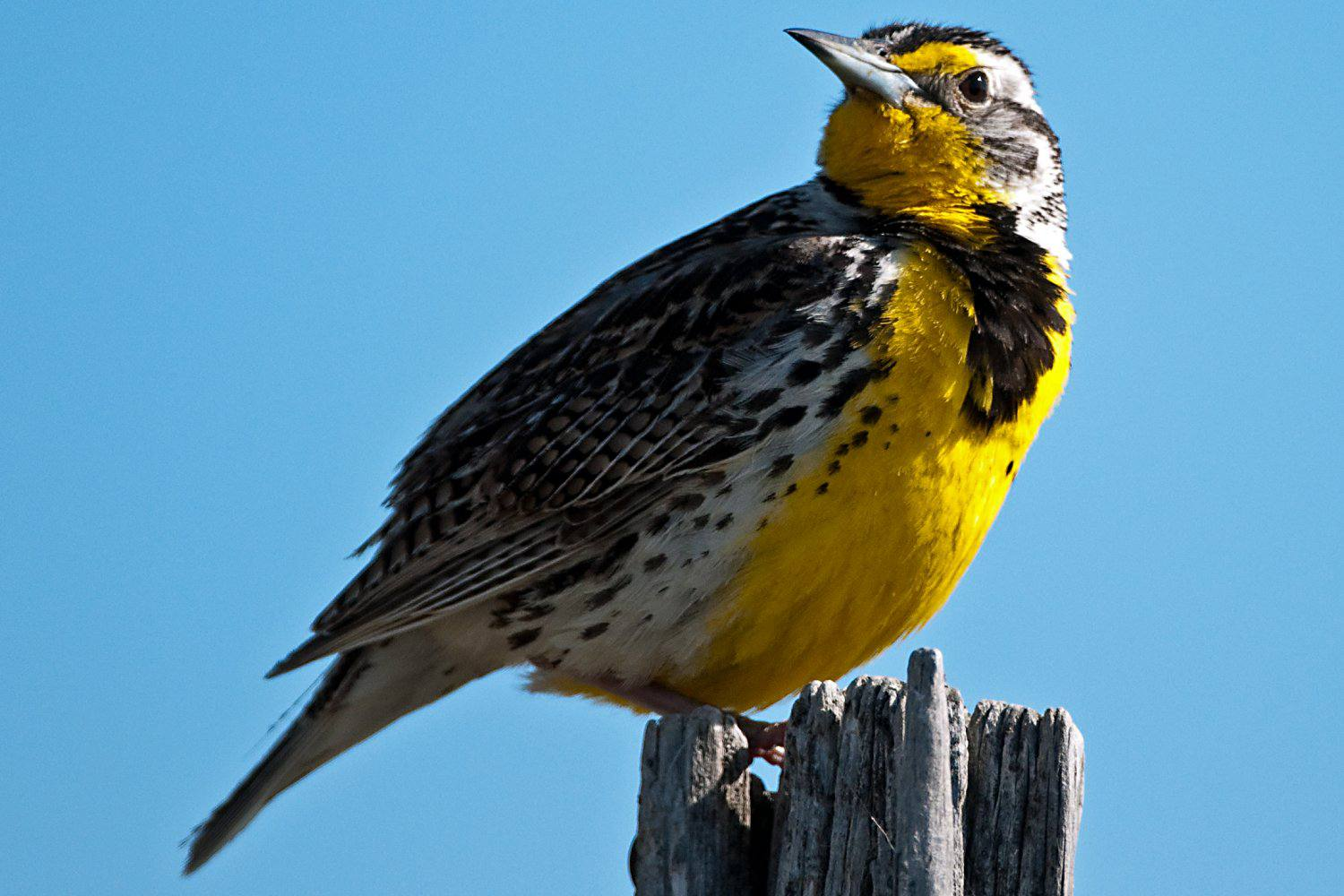 Western Meadowlark, state bird of Kansas, on a fence post top.