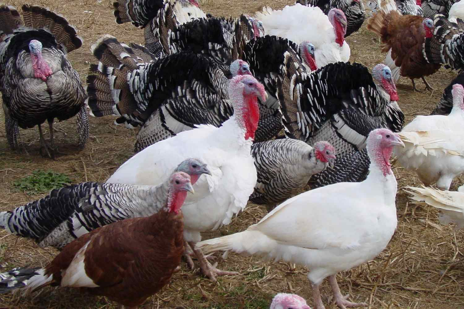 Domestic Turkey Farm