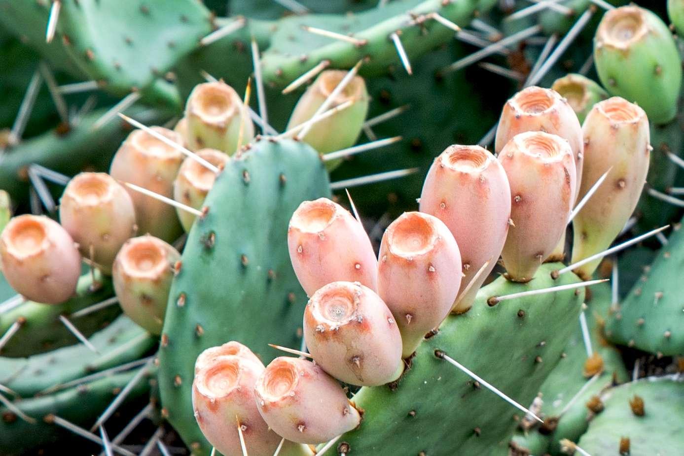 closeup of prickly pear cacti
