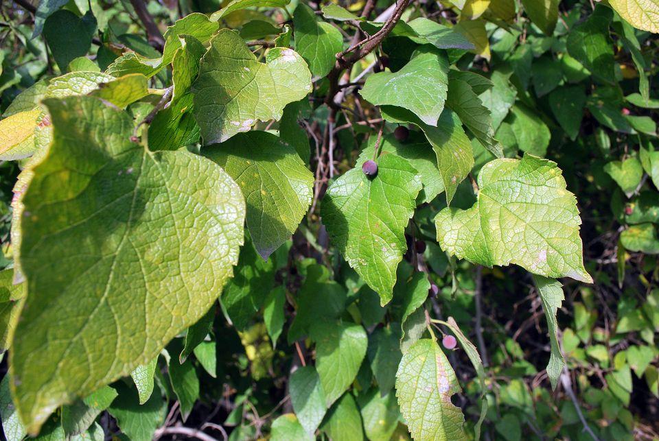Netleaf hackberry trees are very resilient.