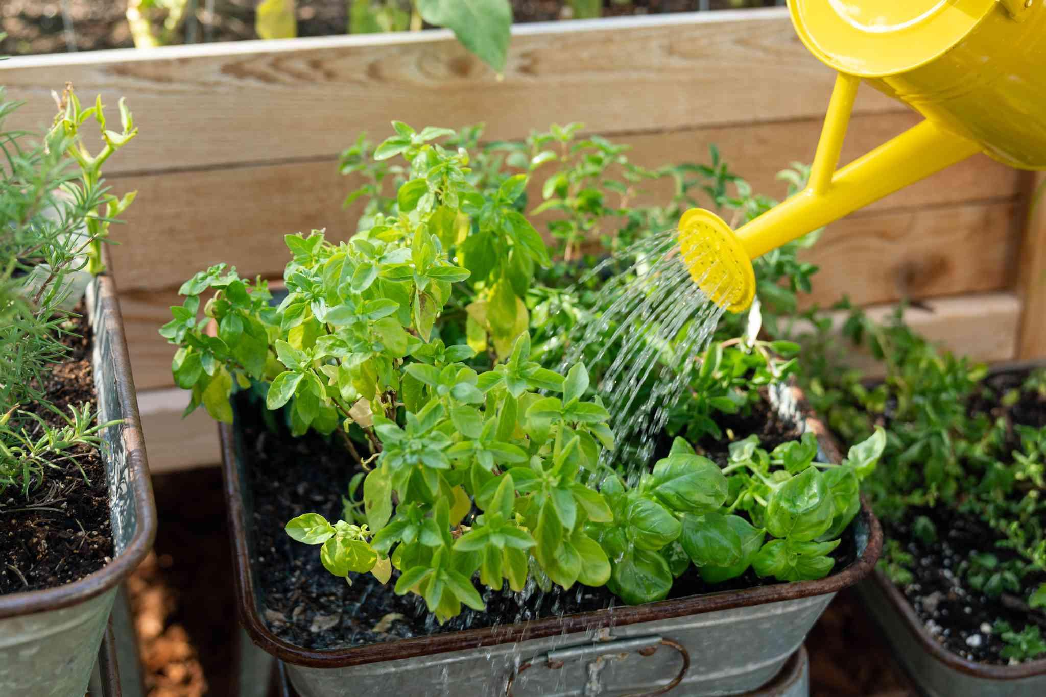 watering your herb garden