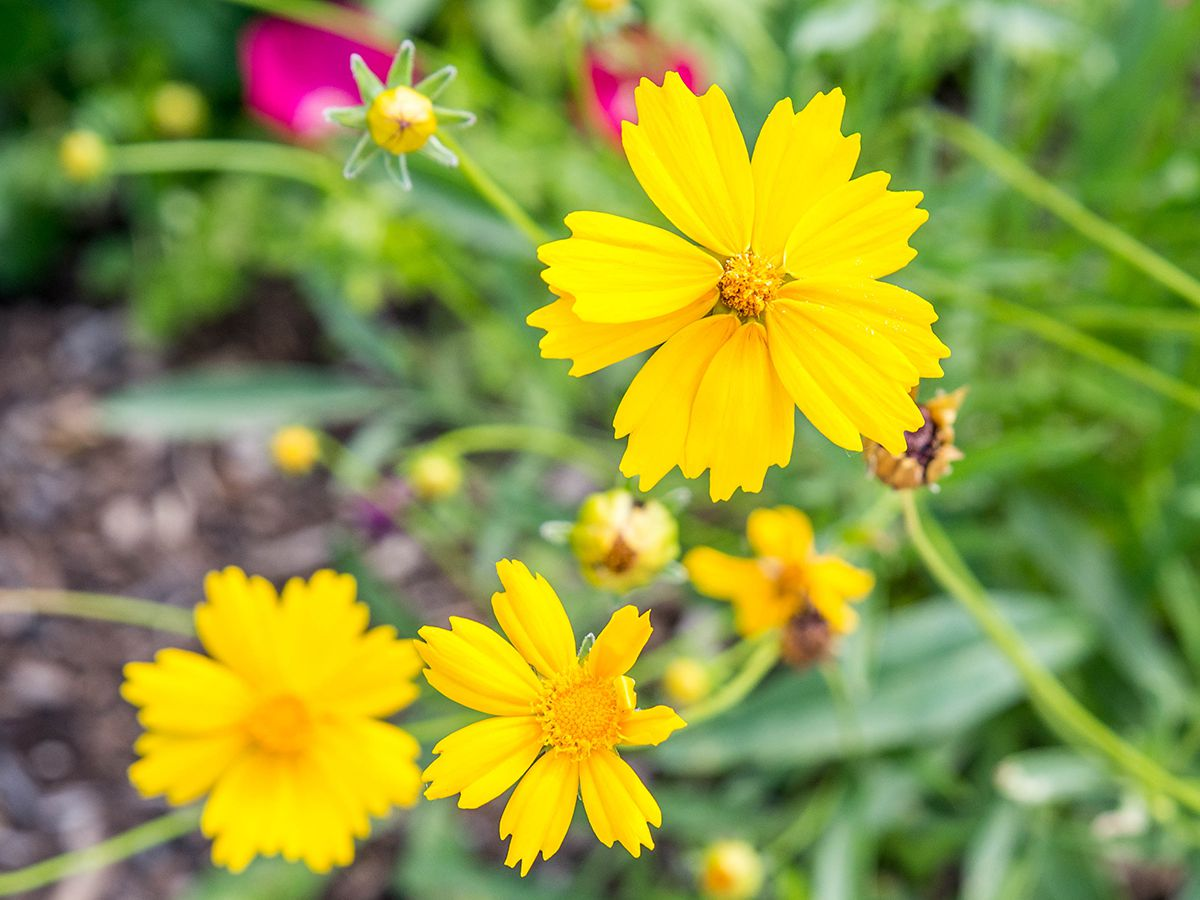 Coreopsis Plant Care And Growing Guide