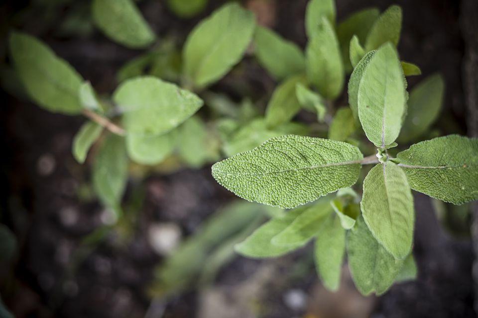 Planta sabia que crece en un jardín.