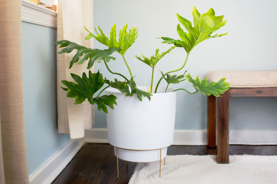 Tree philodendron plant with large lobed leaves in white pot and plant stand in room corner