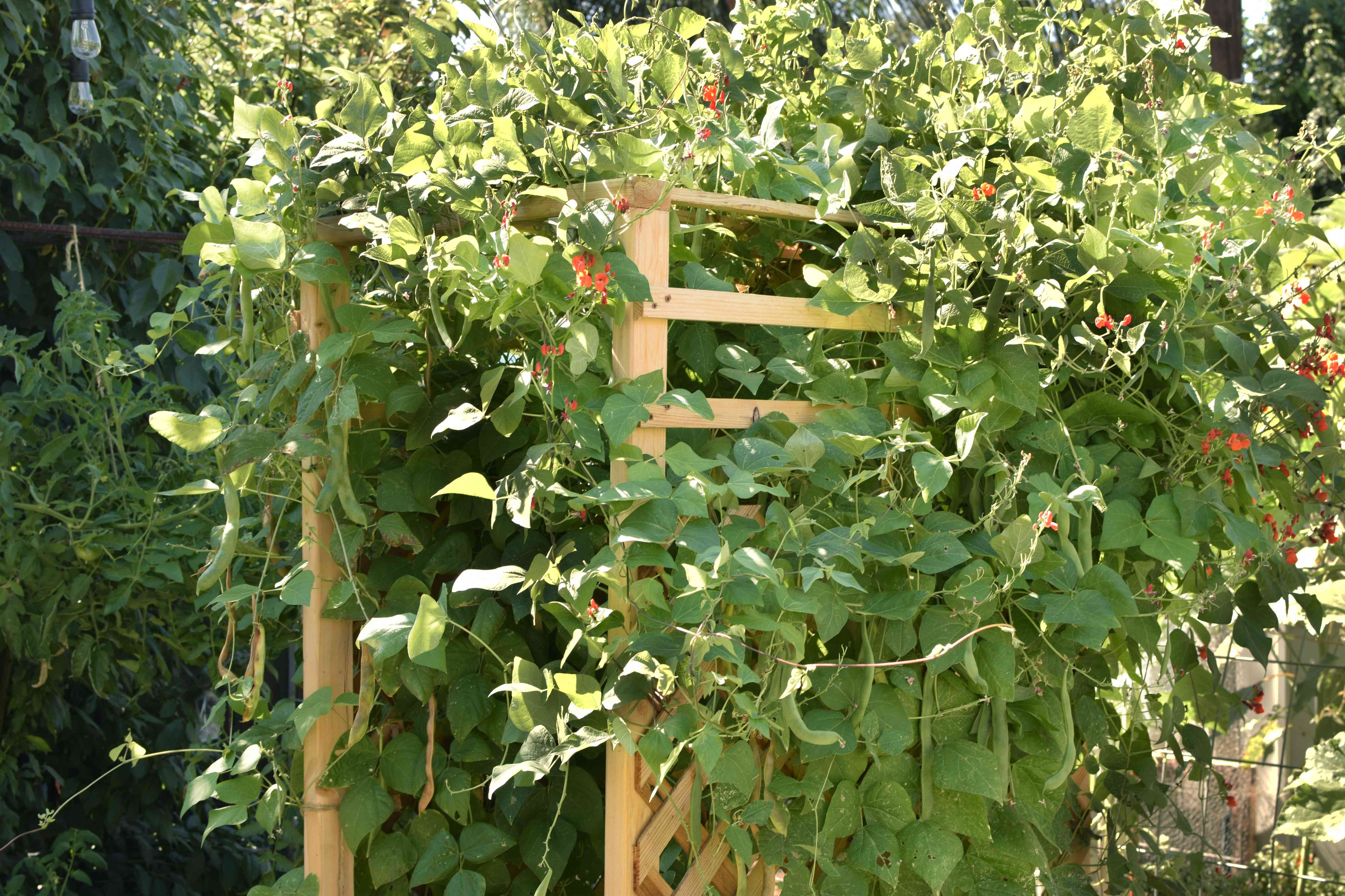 Pole bean vines with small red flowers covering wooden arbor
