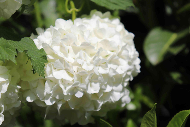 White flowers snowball or viorne obier, from the Latin Viburnum opulus roseum
