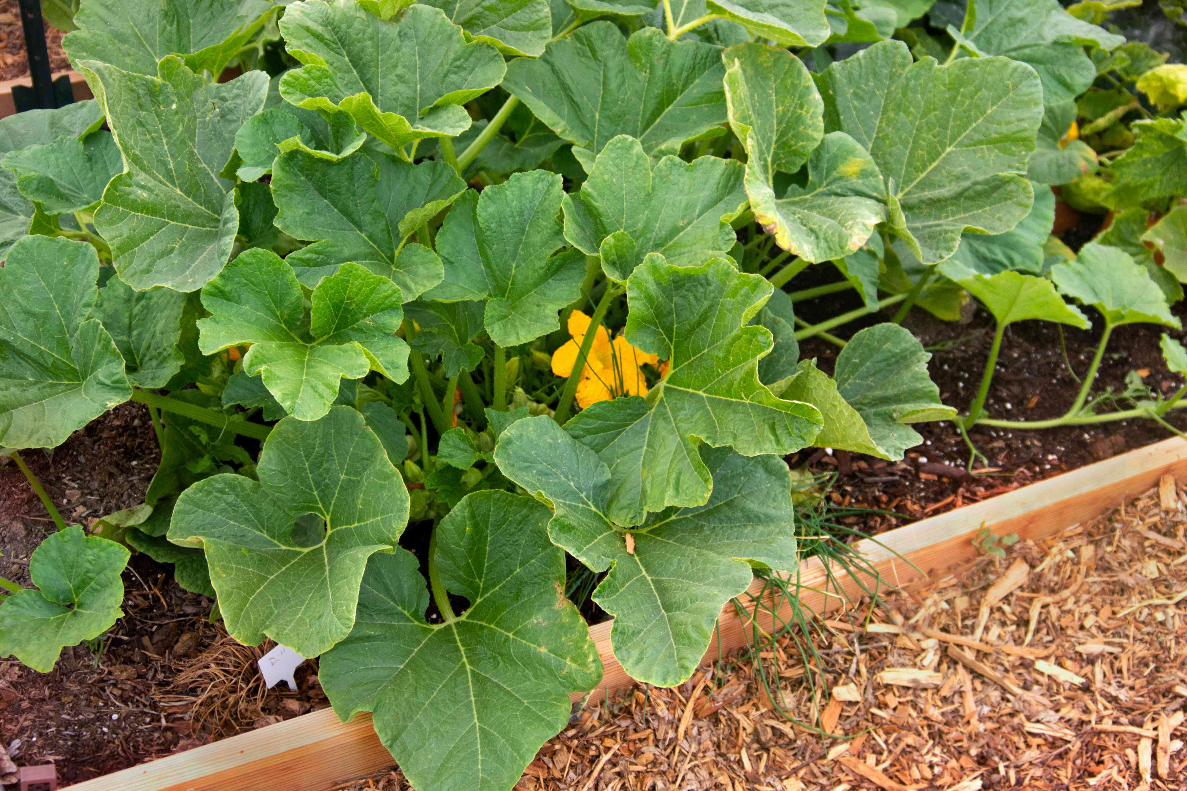 Patty pan squash plant with large leaves in garden