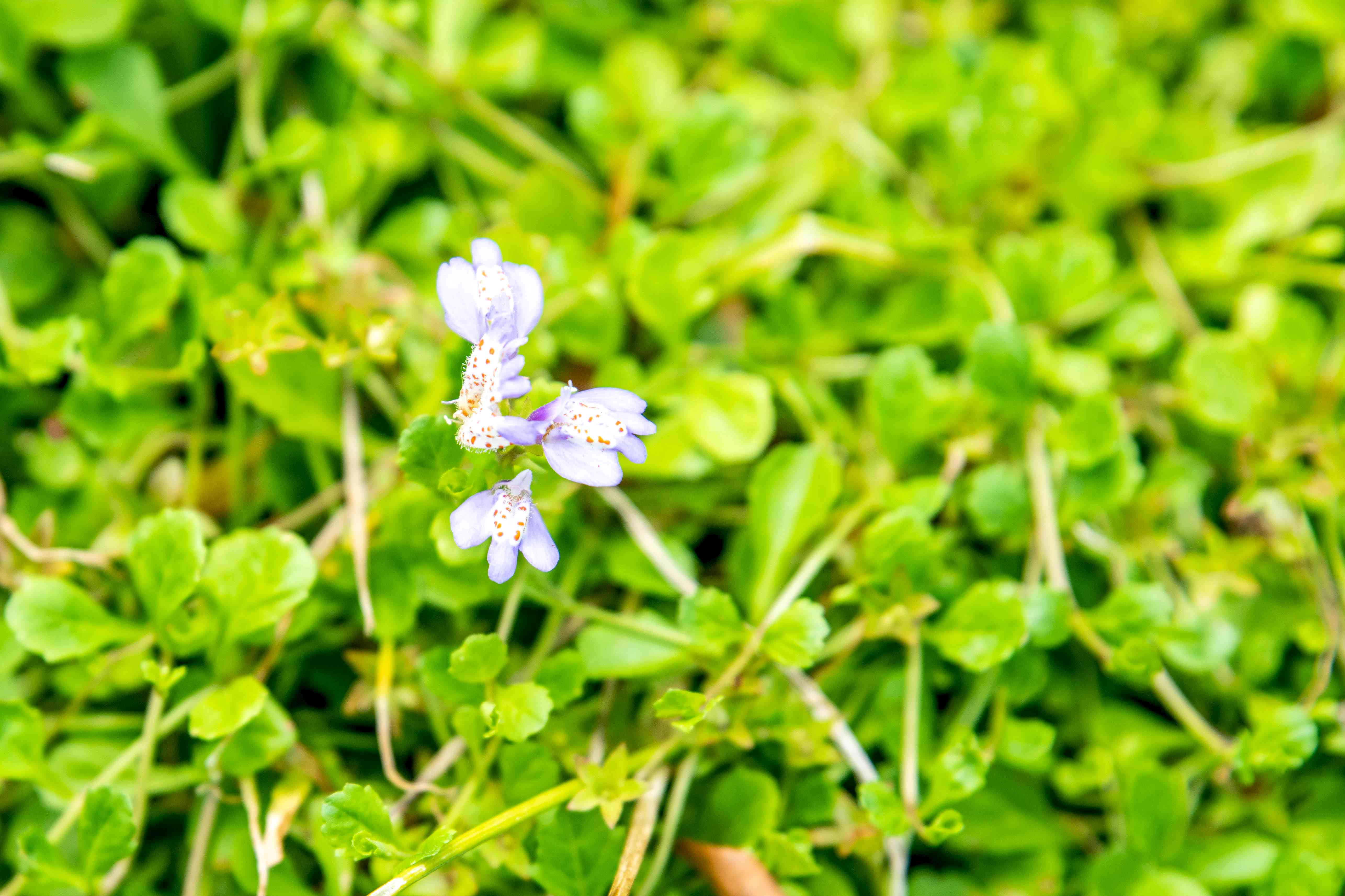 Creepig mazus ground cover with small purple and orange spotted flower surrounded by bright green leaves