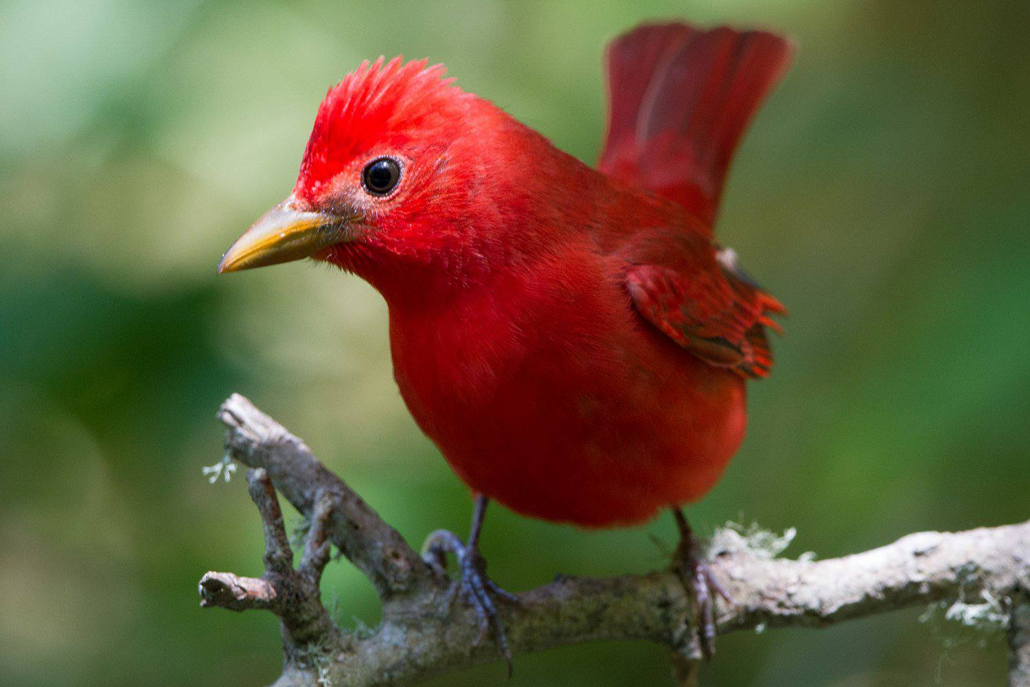 red summer tanager d123df78caebc049ac4