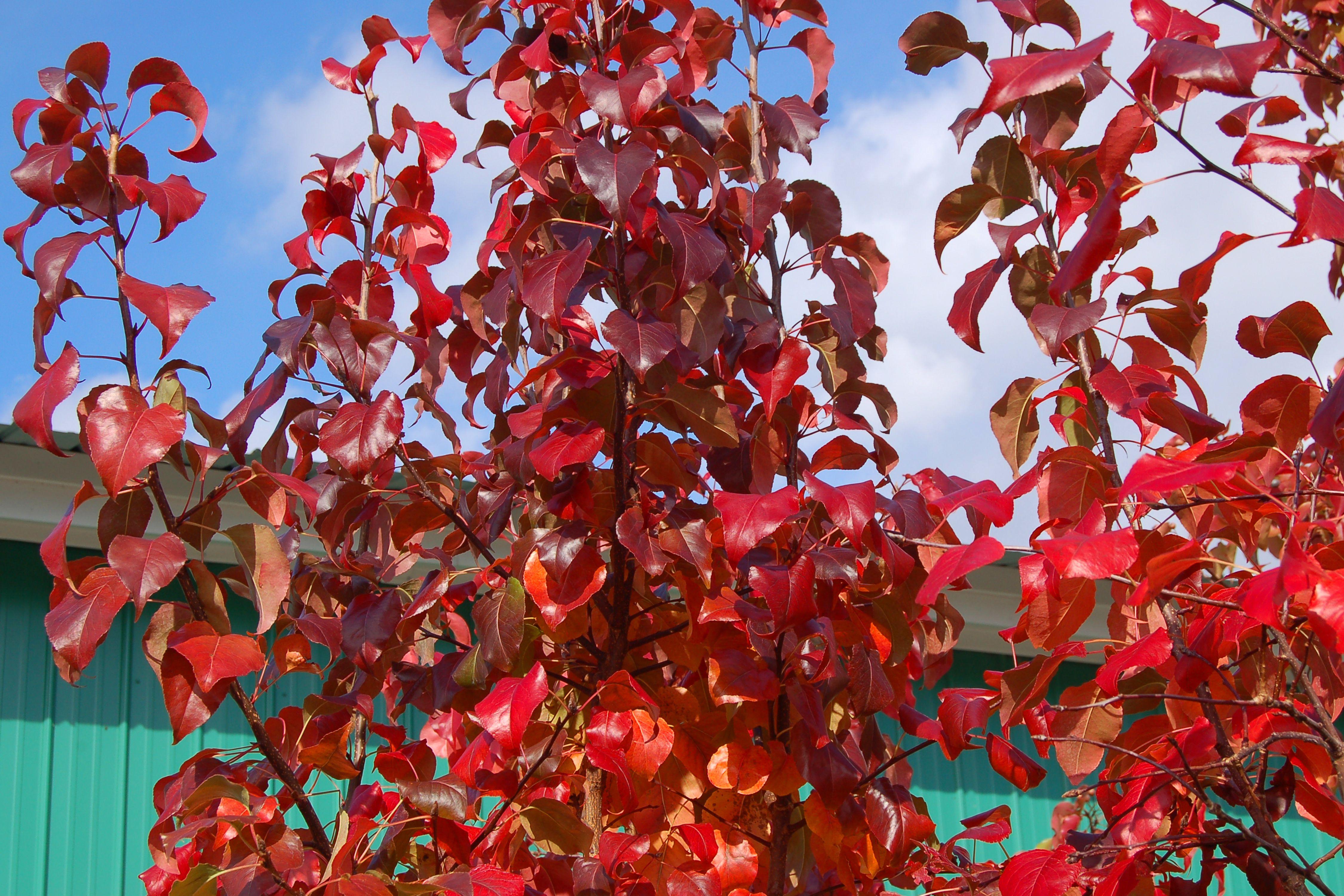 Pyrus calleryana Árbol de otoño