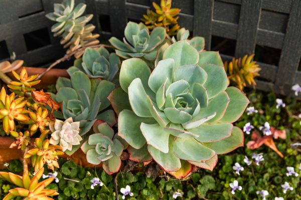 Echeveria succulent with rosette-like leaves clustered and surrounded by other plants