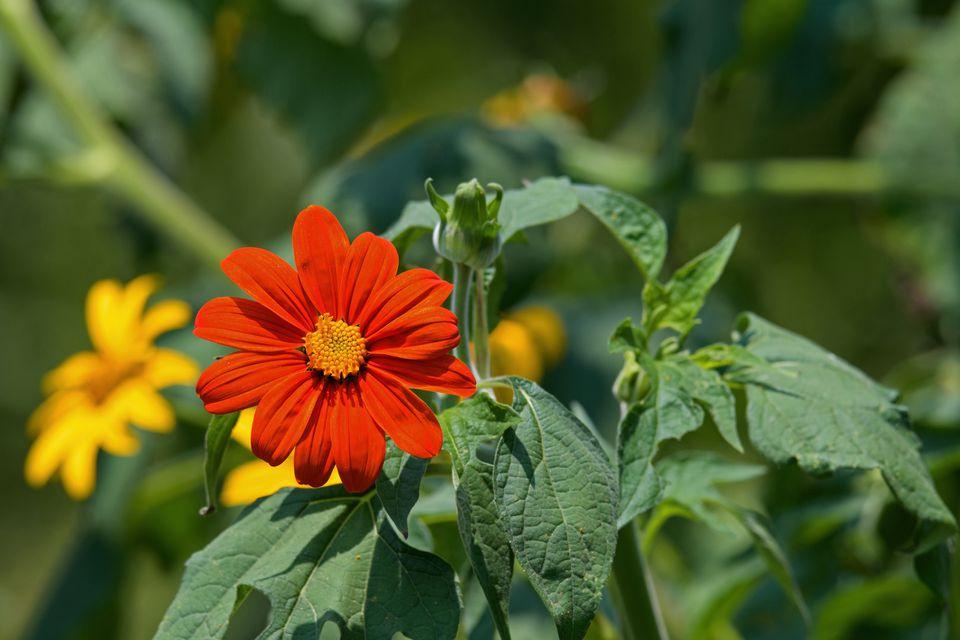 Mexican Sunflower, Tithonia